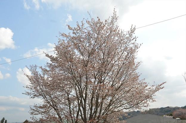 桜2021_10