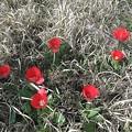 枯草の中のチューリップ