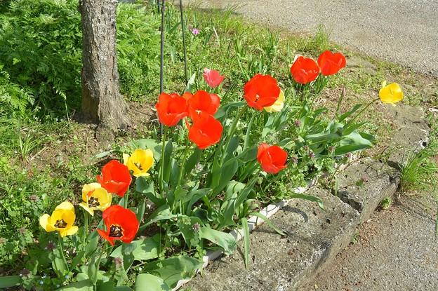 チューリップの花壇
