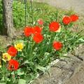 Photos: チューリップの花壇