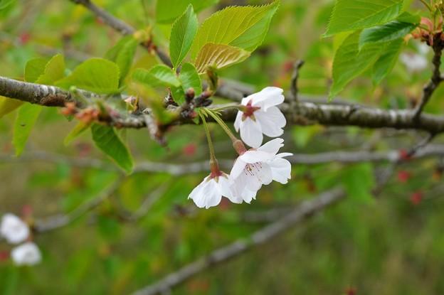 桜2021_11