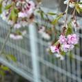 Photos: 桜2021_12