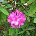 Photos: Rhododendron