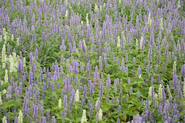 紫と白の花畑