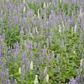 Photos: 紫と白の花畑