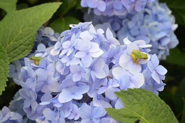 紫陽花とカエル×2