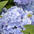Photos: 紫陽花とカエル×2