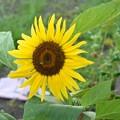 Photos: Sunflower