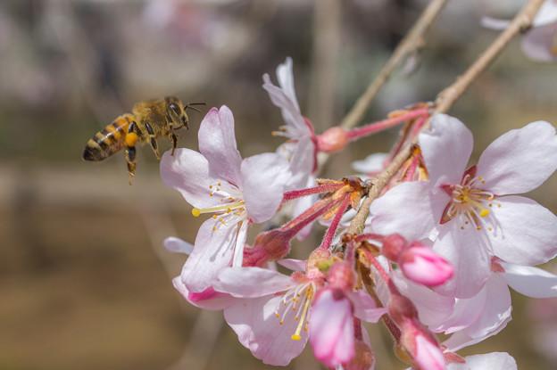 桜とミツバチちゃん