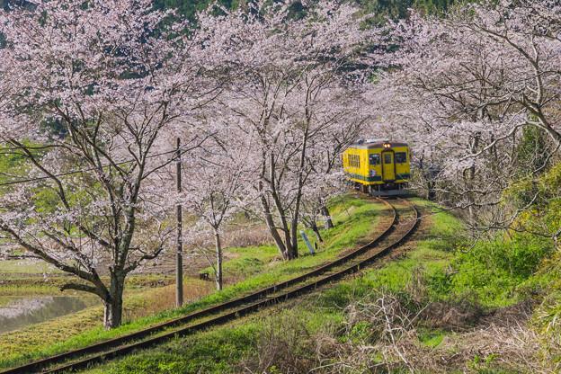 ローカル列車と桜トンネル