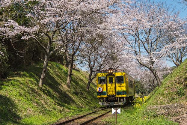 ローカル列車と桜トンネル 2
