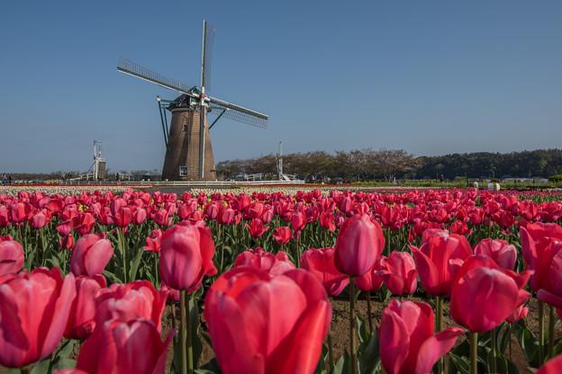 風車とチューリップ畑