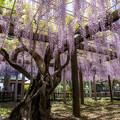 Photos: 藤の季節 3