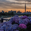 Photos: 紫陽花とスカイツリー 1