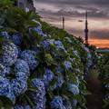 Photos: 紫陽花とスカイツリー 2