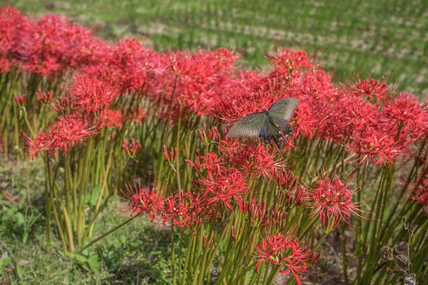彼岸花の季節 1