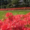 彼岸花の季節 2