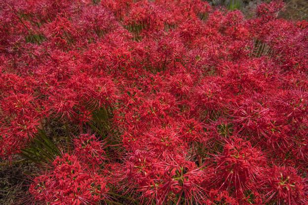 Photos: 彼岸花の季節 3