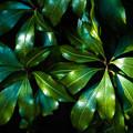 Photos: 緑の葉