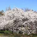 Photos: エドヒガン桜