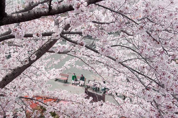 Photos: 桜吹雪の中で