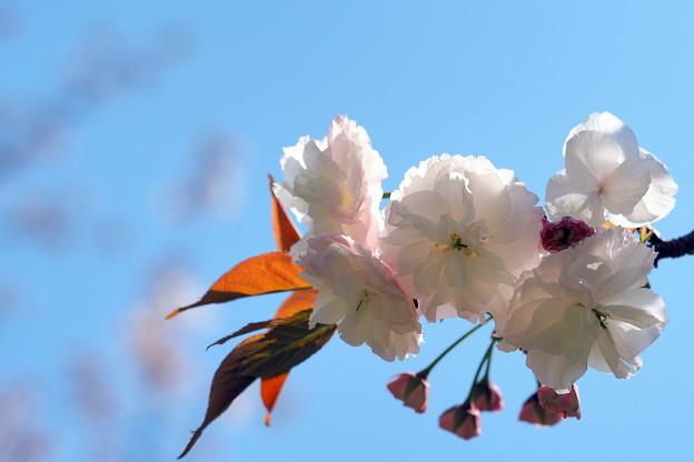 八重桜松月                                                                                                                                                                                                                                                                                                      八重桜シヨウゲツ