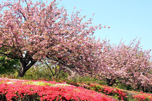 八重桜カンザシ