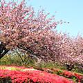 Photos: 八重桜カンザシ