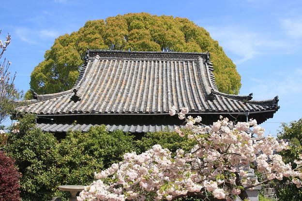 寺院と八重桜