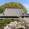 Photos: 寺院と八重桜