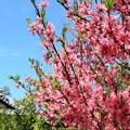 Photos: トキワマンサクの咲く寺