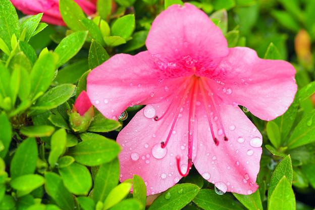 サツキに降る皐月の雨