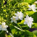 Photos: 四季咲きアジサイ