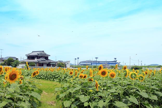 坊っちゃんスタジアムとひまわり畑