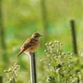 Photos: A18A6833ホオジロ幼鳥