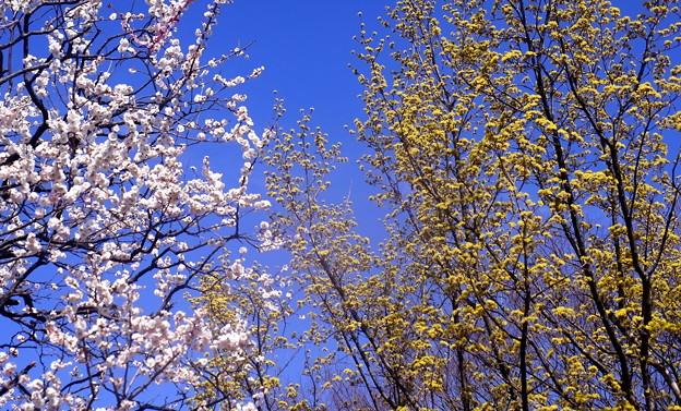 梅の花とサンシュユ