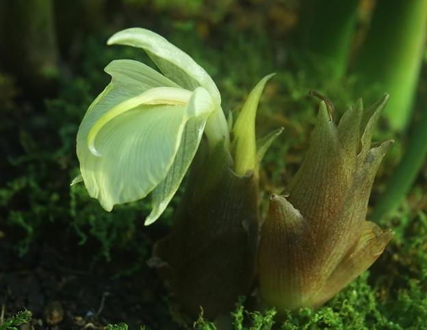 ミョウガのクリーム色の花