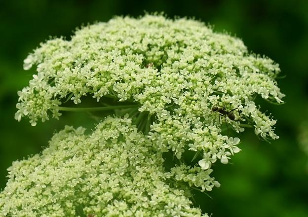 セリの花と蟻