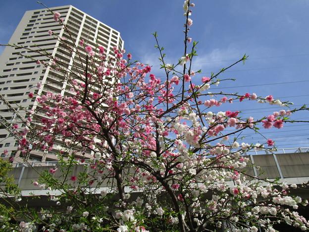 北与野の桜 (6)