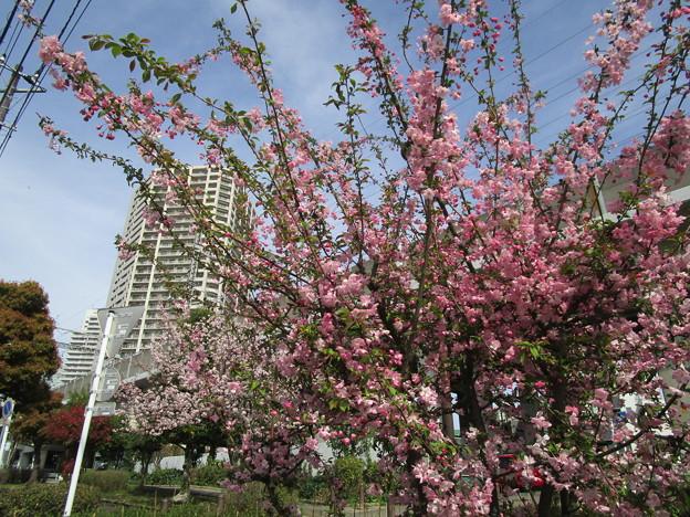 北与野の桜 (1)