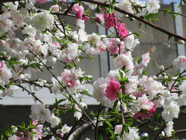 北与野の桜 (5)
