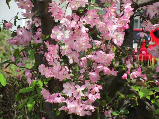 北与野の桜 (2)
