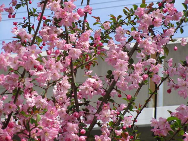 北与野の桜 (3)