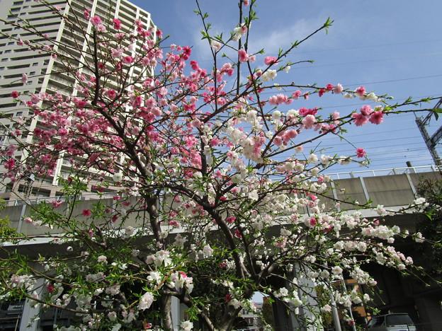 北与野の桜 (4)