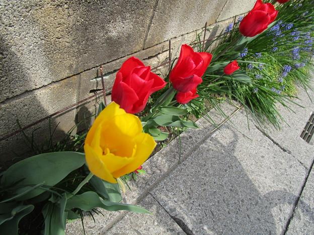 赤と黄色のチューリップ