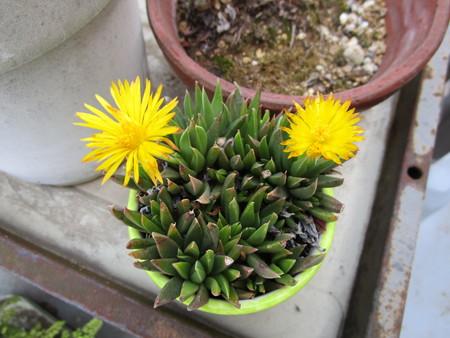 黄色いサボサボの花
