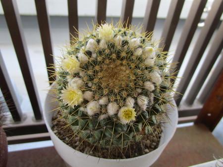 白いサボサボの花