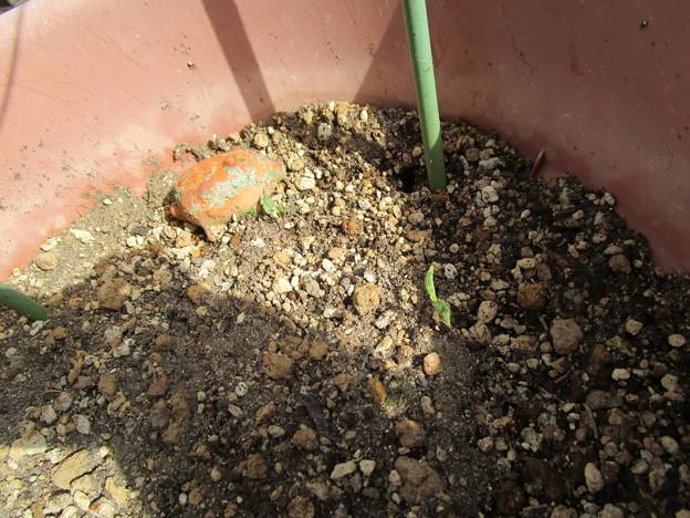 トマトが発芽