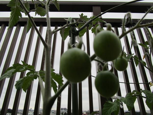 ミニトマト生る