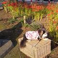 氷川神社の彼岸花 とチワワ